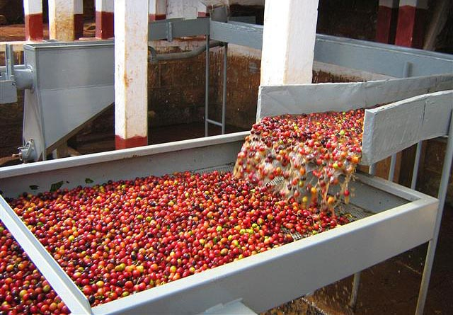 kenya-wet-processing-coffee